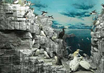 Brutkolonie verschiedener Seevögel an der Felsküste der Lofoten. Diorama im Museo Civico di Storia Naturale di Milane.